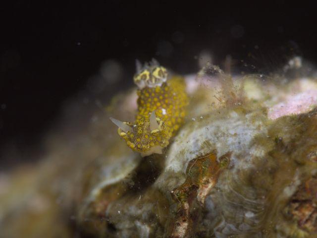 ハナサキセンヒメウミウシ