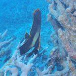 アカククリ幼魚