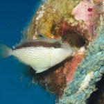 メガネハギ幼魚