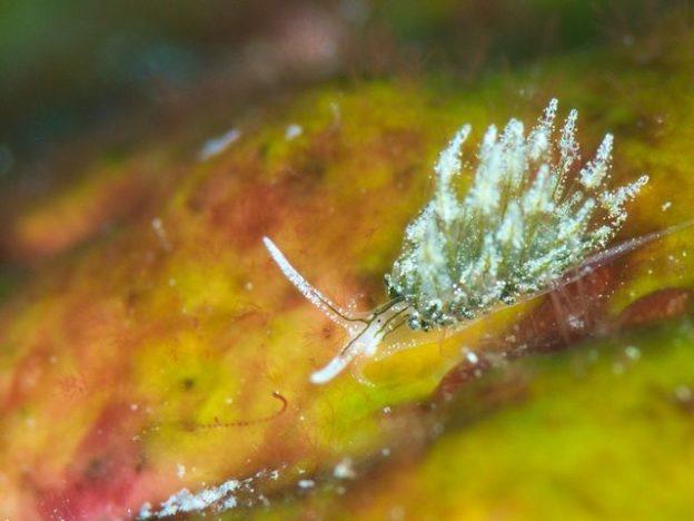 アオモウミウシ属の一種(Stiliger sp)