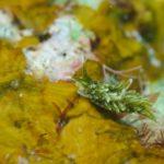 アリモウミウシ属の一種
