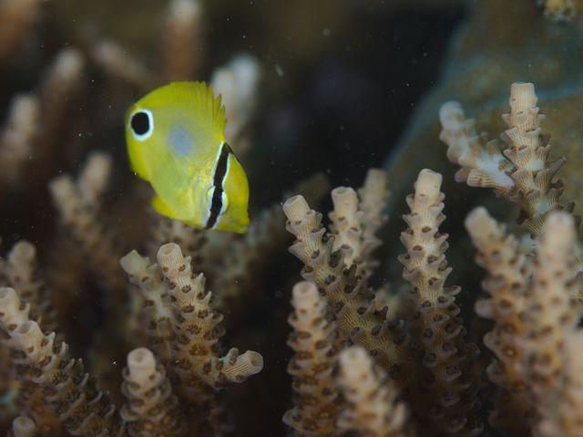 スミツキトノサマダイ幼魚