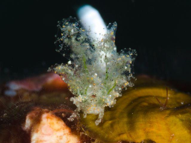 キマダラウロコウミウシ属の一種